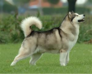 Aljašský malamut je využívaný ke sportovním závodům v saňových spřeženích.  Malamut je velmi podobný vlku 5d49a45911